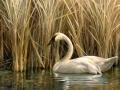 0008-swan.jpg