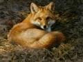 0015-fox.jpg