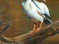 0028-Pelican.jpg
