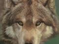 0066-grey-wolf.jpg