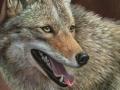 0122-coyote.jpg