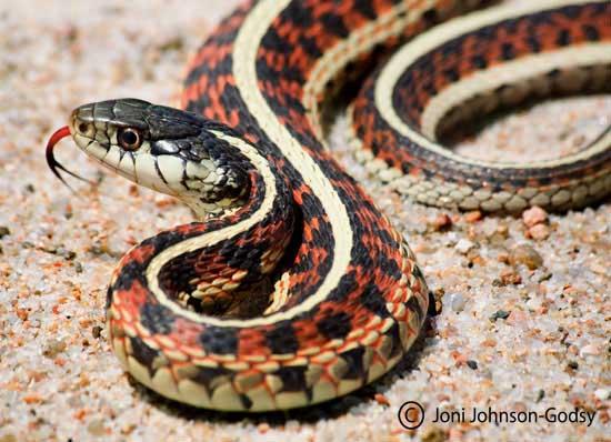 http://herpcenter.com/herp-photos/3403-western-rattlesnakes.html