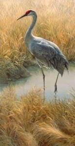 Sandhill Crane wildlife art print
